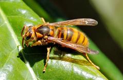 キイロスズメバチ.png